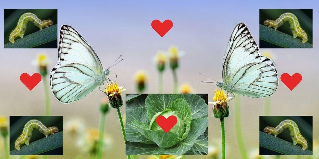 Vlinders en rupsen die van kolen houden