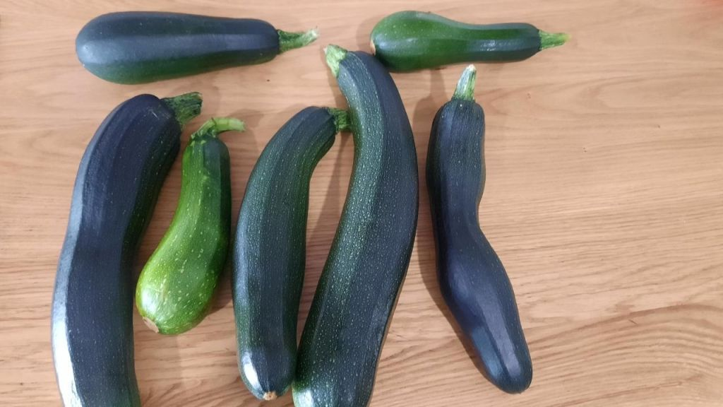 harvest of courgette